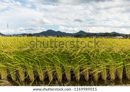 rice plant agriculture field #1169989015