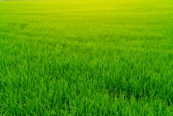 Rice plantation. Green rice paddy field. Organic rice farm in asia. Rice growing agriculture. Green paddy field. Paddy-sown ricefield cultivation. Asian food. Green grass leaves with raindrops.