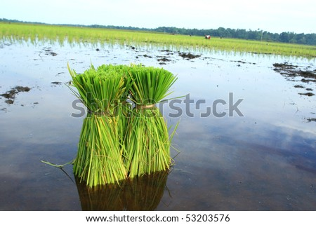 stock photo : Rice Plants