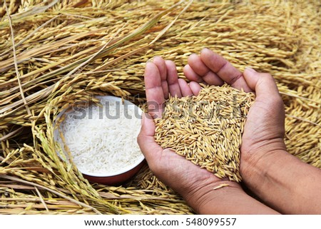 Rice seed in farmer hand at sunny day light. subject is soft focus #548099557