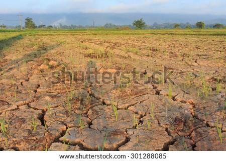 Shutterstock Rice seedlings growing on the barren fields.