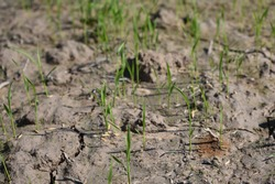 Rice seedlings growing on the barren fields and no water in drought rice field with cracked soil.
