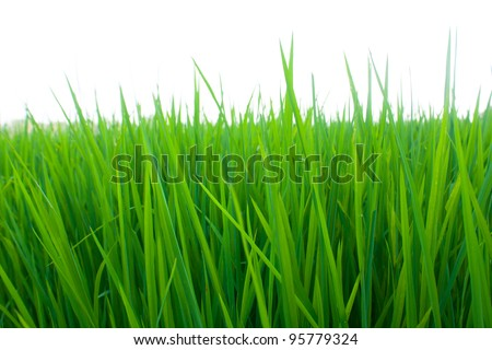 Rice seedlings were grown to a spike. The food is consumed