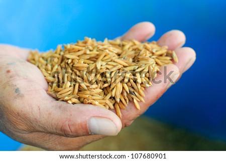 Rice seeds In farmer hand