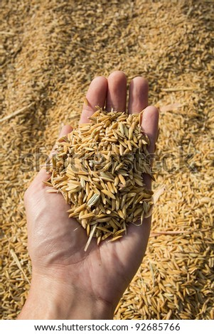 Rice seeds In hand on Paddy background