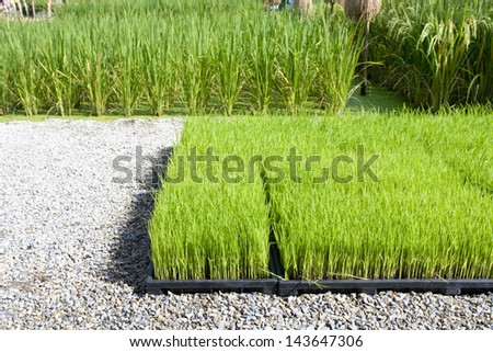 Rice sprout in tray for planting with machine - stock photo