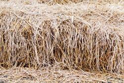 Rice straw, dry straw texture background
