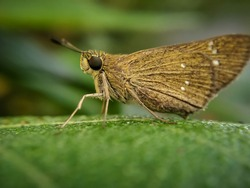 Rice swift is a small species of skippers found throughout India expect Jammu and Kashmir.