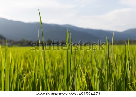 Rice terrace and mountains on a horizon. Thailand. #491594473