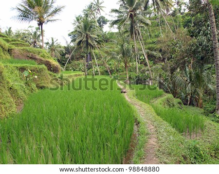 Rice Terrace at Gunung Kawi Temple Complex - Bali, Indonesia #98848880