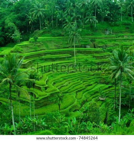 rice terrace fields indonesia bali