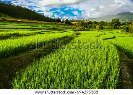 Rice terrace/Rice field #694295308