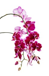Rich branch of dark red orchid phalaenopsis flowers close-up, isolated on a white background, vertical image