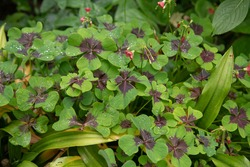 Rich Green Heart Shaped Leaves with a Purple Blotch at the Base and Bright Pink Flower Heads on a Good Luck Clover Plant (Oxalis tetraphylla 'Iron Cross') Growing in a Garden in Devon, England, UK