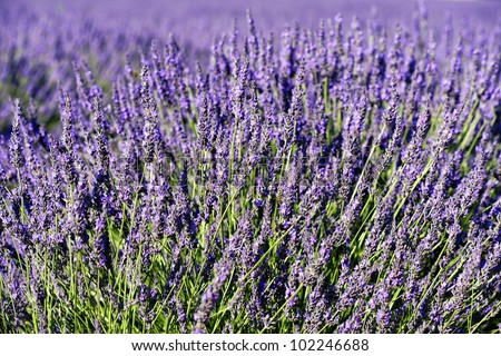 rich lavender field in Provence in summer, France