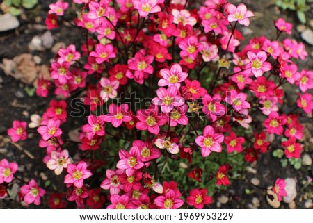 Rich red and pink flowers. Saxifraga x arendsii Marto Rose an evergreen perennial alpine garden plant Stockfoto ©