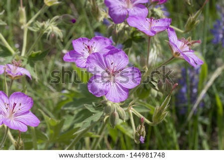 Richardson's geranium is a common wildflower in the Rocky Mountains of Montana.