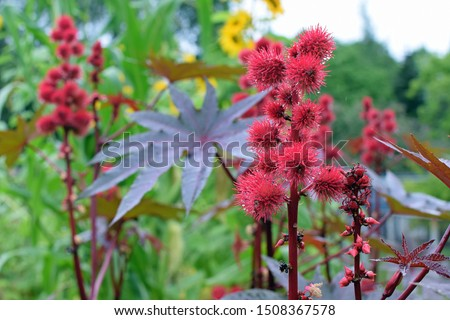 Ricinus communis, also known as castor bean or castor oil plant. It is the world's most poisonous common plant. Stock photo ©