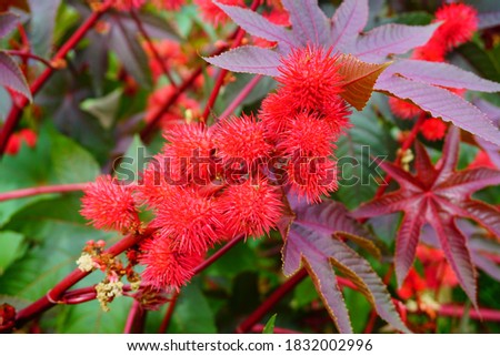 Ricinus communis in the glow of the setting sun Stock photo ©