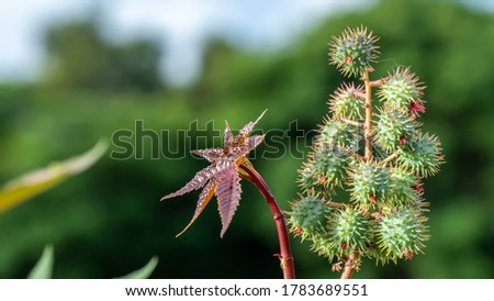 Ricinus communis, the castor bean or castor oil plant, is a species of perennial flowering plant in the spurge family, Euphorbiaceae.  Stock photo ©