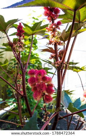 Ricinus communis, the castor bean or castor oil plant, red seeds. Stock photo ©