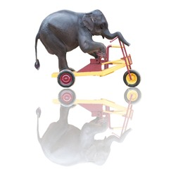 rider on the storm, elephant riding a bicycle isolated on white