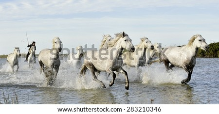 Riders and White horses of Camargue running through water. France Black and white photo