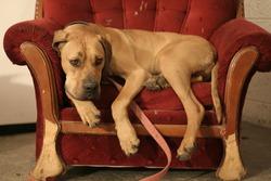 Ridgeback dog resting in red armchair