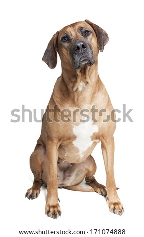 Ridgeback on a white background in studio #171074888
