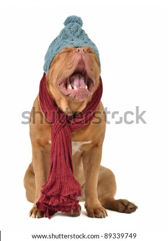 Ridiculous dog with winter clothing isolated