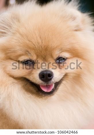 Ridiculous smiling spitz-dog