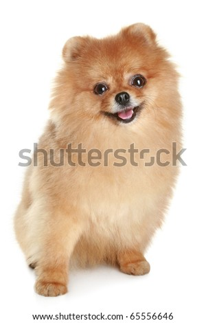 Ridiculous spitz-dog sits on a white background - stock photo