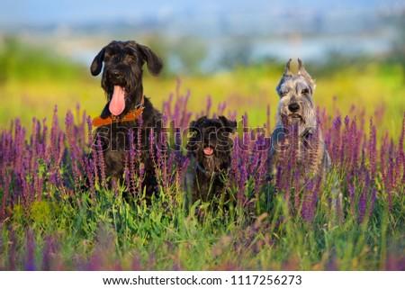 Riesen mittel  zwerg schnauzer dog close up portrait in violet flowers #1117256273