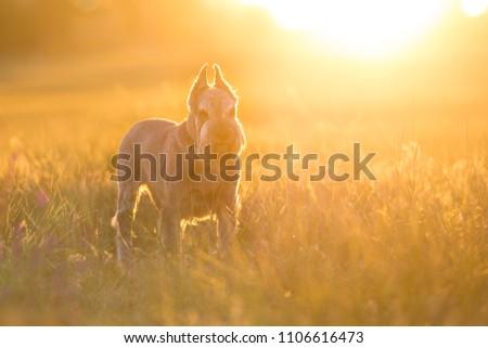 Riesen schnauzer dog close up portrait in violet flowers #1106616473
