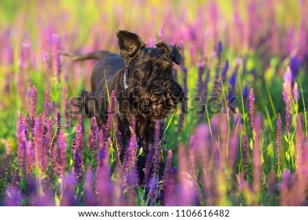 Riesen schnauzer dog close up portrait in violet flowers #1106616482