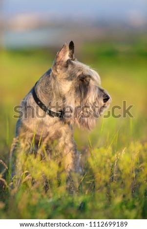 Riesen schnauzer dog close up portrait in violet flowers #1112699189