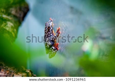 Riggenbach's reed frog, female, Hyperolius riggenbach