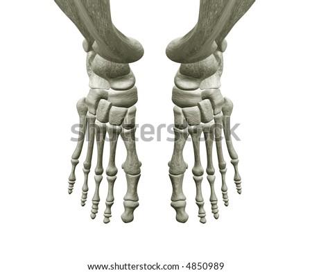bones of foot. Right and Left Foot Bones