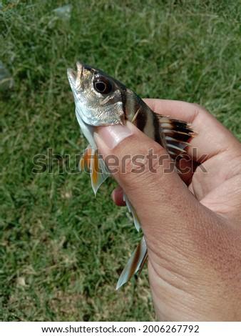 right hand hold tigerfish one of predator fish. Stock fotó ©