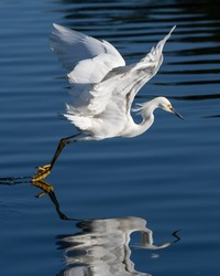 Right side profile of graceful and beautiful Snowy White Egret bird has spread wings while skimming the lagoon pond water surface with feet.