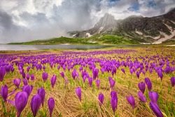 Rila mountains - Field of spring time crocus in the Rila mountains, Bulgaria
