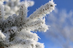 Rime Ice covered trees. Rare rime ice coats each branch and needle of a pine tree. Close up detail of Rime Ice on a pine tree. White icy photo with a brilliant blue winter sky. Room for text.