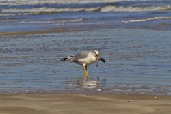 Ring billed gull catches arched, jumping fish along Beach Drive of Padre Island National Seashore in Texas