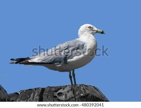 Ring-billed gull (Larus delawarensis), New York, USA