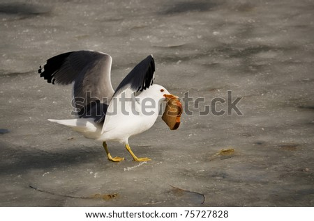 Ring-billed gull (Larus delawarensis) on icy pond with a piece of wheat bread