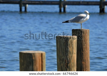 Ring-billed Gull (Larus delawarensis), the most common gull in N. America,  seen sitting atop one of three pilings driven into the water holding  a dock or pier in place and keeps it from crumbling.