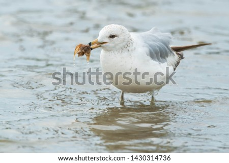 Ring-billed Gull standing in the shallow water holding a chunk of fish in its bill. Ashbridges bay Park, Toronto, Ontario, Canada.