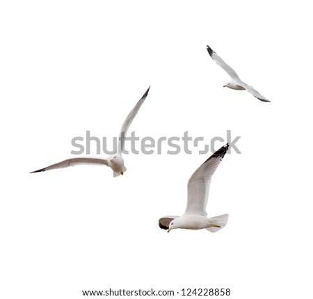 Ring-billed Gulls (Larus delawarensis)