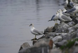 Ring-billed gulls looking out over the water of the Tennessee River for food.