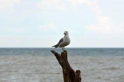 RIng Billed Seagull perched on driftwood